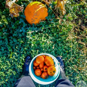 20161004-picking-tomatoes