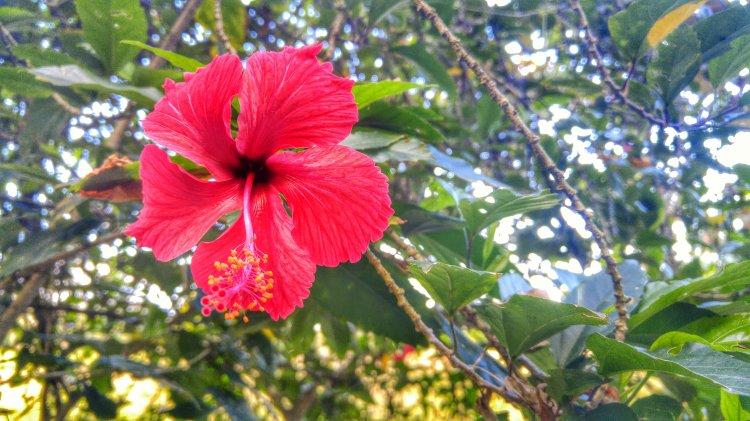 Costa Rica hibiscus
