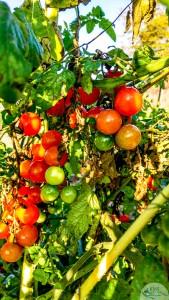 20161004-cherry-tomatoes