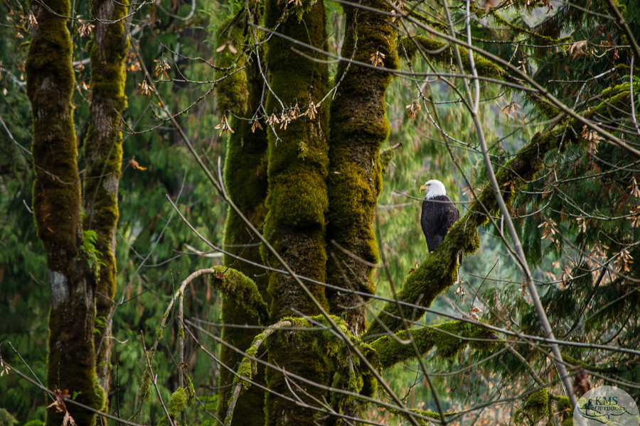 bald eagle in goldstream