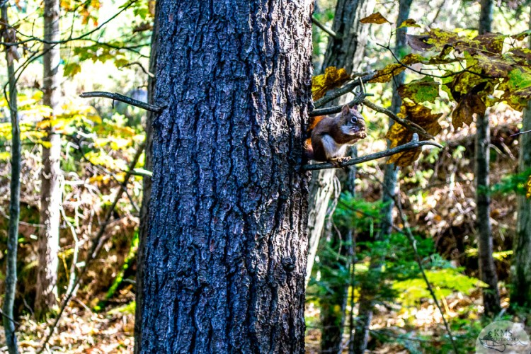 precarious red squirrel on the granite ridge trail