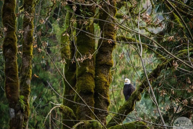 bald eagle in goldstream