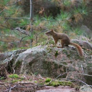red squirrel around killarney