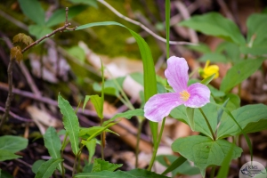 Trillium in Rondeau Provincial Park