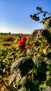 20161004-raspberries